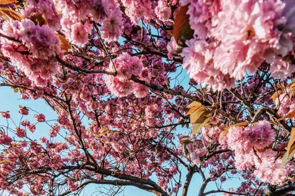Seward Park, Seattle, Cherry Blossoms